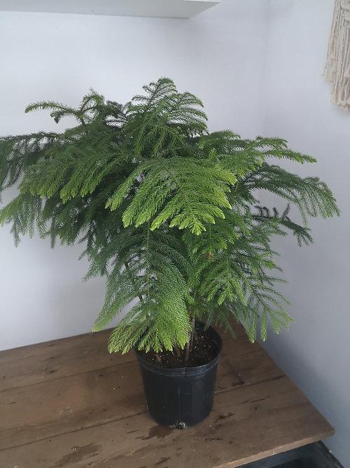 "Norfolk Island Pine 10"" pot"