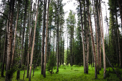 Yellowstone Grove