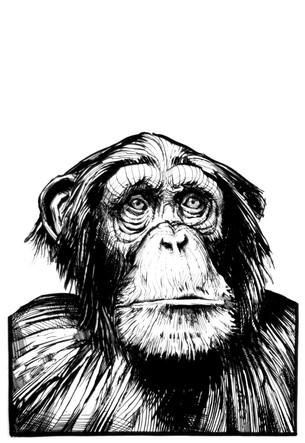Chimpanzee_A_002.jpg