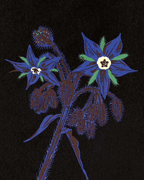 illustration riso print beautiful decorative flower black background close up bourrache blue spiky