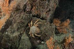Araignée-armor plongée