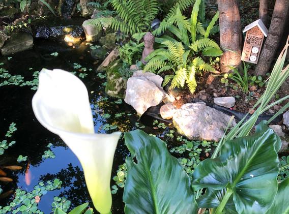 Arum et fougères du bassin zen