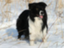 border-collie-winter-8415203.jpg