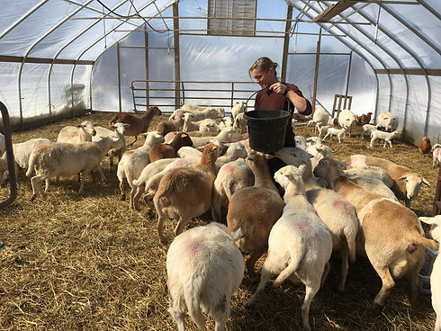 Erica feeding sheep.JPG
