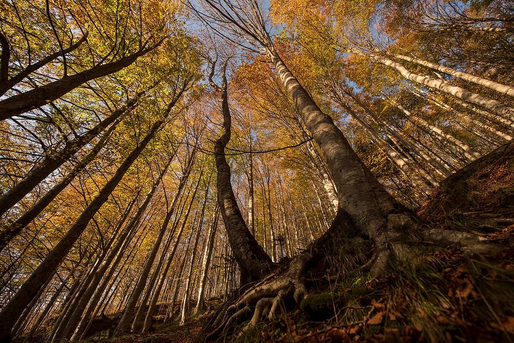 Fall Foliage nella Faggeta di Badia Prataglia intorno al 20 ottobre Parco Nazionale Foreste Casentinesi