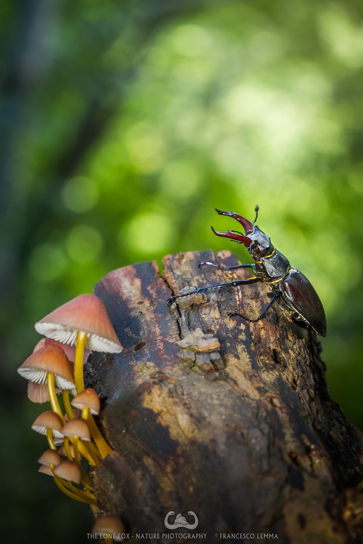Cervo volante nel Parco Nazionale delle Foreste Casentinesi