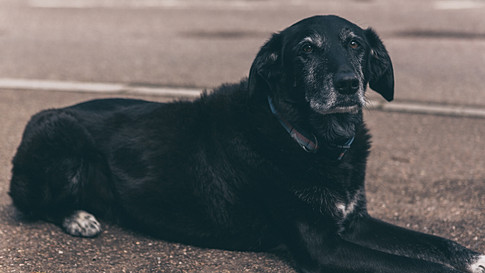 Albert - Office Dog