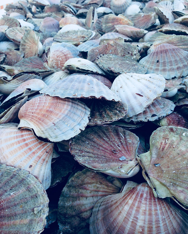 Scallops straight off the boat, to pile