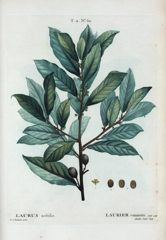 Laurus nobilis = BayLeaf