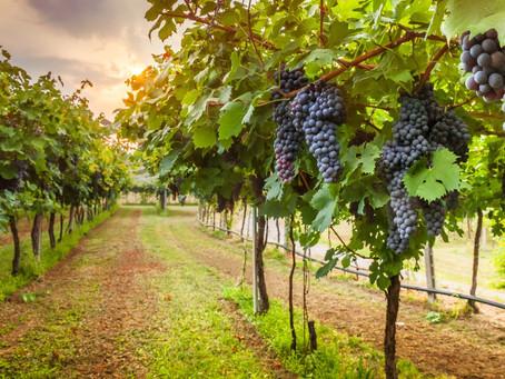Novo Mundo - Vinhos e vinhedos, um pouco de história e estórias