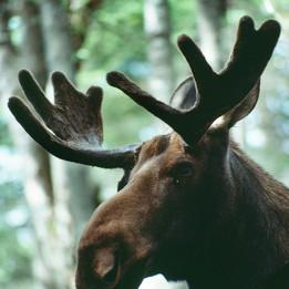 Hello Moose!