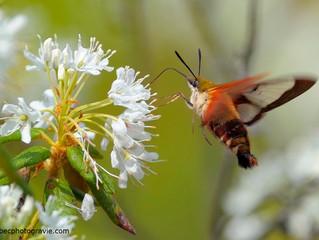 Un insecte qui a de l'oiseau...