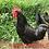 Thumbnail: Gigante Negro de Jersey - ovos férteis, galados - Unidade - Compre 12 e leve 15