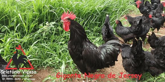 Gigante Negro de Jersey - ovos férteis, galados - Unidade - Compre 12 e leve 15