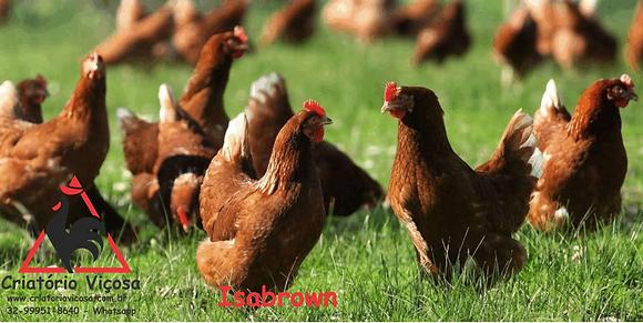 Isabrown - ovos férteis, galados - Unidade - Dz com 15 ovos
