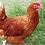 Thumbnail: Isabrown - ovos férteis, galados - Unidade - Dz com 15 ovos