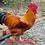 Thumbnail: New Hampshire - ovos férteis, galados - Unidade - Dz com 15 ovos