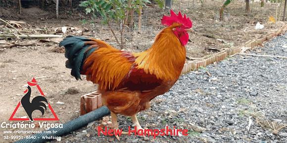 New Hampshire - ovos férteis, galados - Unidade - Compre 12 e leve 15