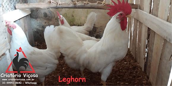 Leghorn Branca - ovos férteis, galados - Unidade - Compre 12 e leve 15