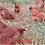 Thumbnail: Embrapa 051 - ovos férteis, galados - Unidade - Compre 12 e leve 15