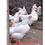 Thumbnail: Plymouth Rock Branca - ovos férteis, galados - Unidade - Dz com 15 ovos