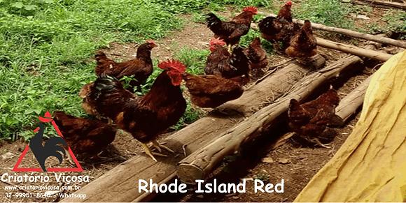 Rhode Island Red - ovos férteis, galados - Unidade - Dz com 15 ovos