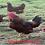 Thumbnail: Rhode Island Red - ovos férteis, galados - Unidade - Dz com 15 ovos