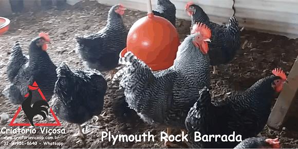 Plymouth Rock Barrada - ovos férteis, galados - Unidade - Dz com 15 ovos