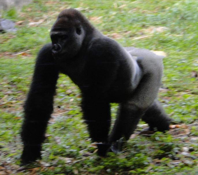 Cross River Gorilla at Limbe Wildlife Centre, Cameroon