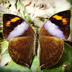 Beautiful male African Leaf Butterfly seen in the Tofala reserve, in the Lebialem highlands, SWCameroon #rainforest #ecotourism #biodiversit