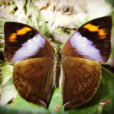 Beautiful Male African Leaf Butterfly