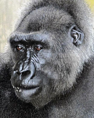 Njango was the only Cross River gorilla