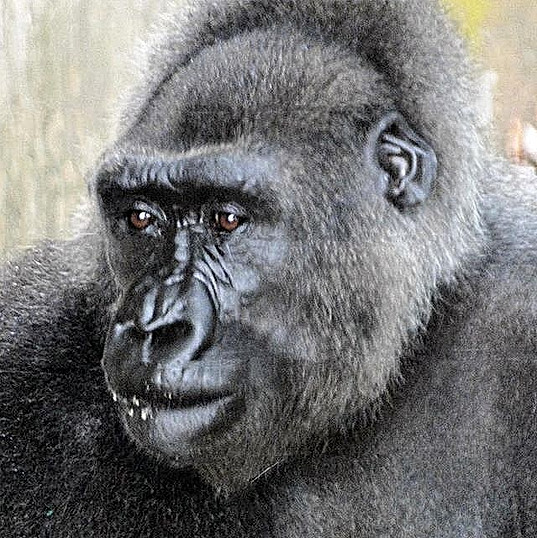 Njango was the only Cross River gorilla in captivity. Sadly she died recently_edited.jpg