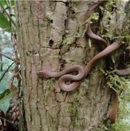 #gorilla #Cameroon #crossrivergorilla #savethegorillas #conservation #erudef #snake #rainforest #wildlife