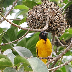 Blackheaded Weaver _Picture by John Daniels, Director CRGP #cameroon #crossrivergorilla #conservation #biodiversity #followforfollow #audubo