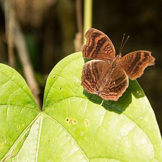 Butterfly 🦋 seen in the rainforest highlands at a height about 600m, Junonia gregorii or Gregory's brown pansy, a submontane butterfly that_