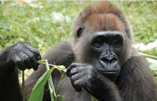 Cross River gorilla at Limbe Wildlife Centre (Nicky Lankester)