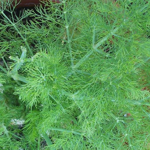 Organic 'Herb Fennel' Foeniculum Vulgare Seeds (1g approx. 100 seeds)