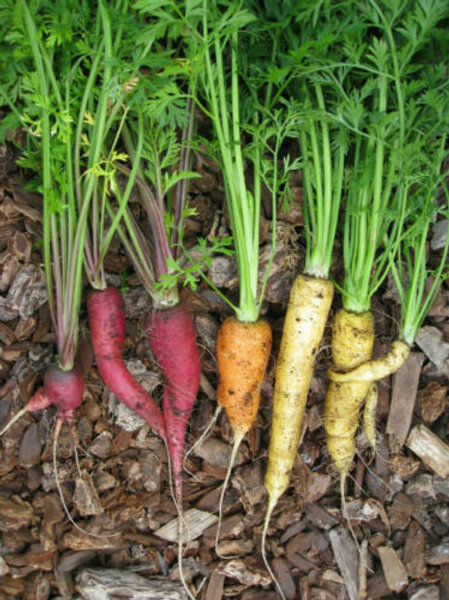 Organic-Rainbow-Carrots 1g=400-800-Seeds Approx.-