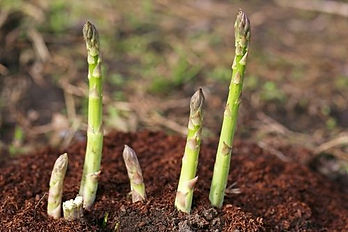 planting-asparagus-crowns-1520250837-152