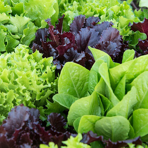 Lettuce Seed (Organic Gourmet Mix) (1g = Approx. 300+ Seeds)
