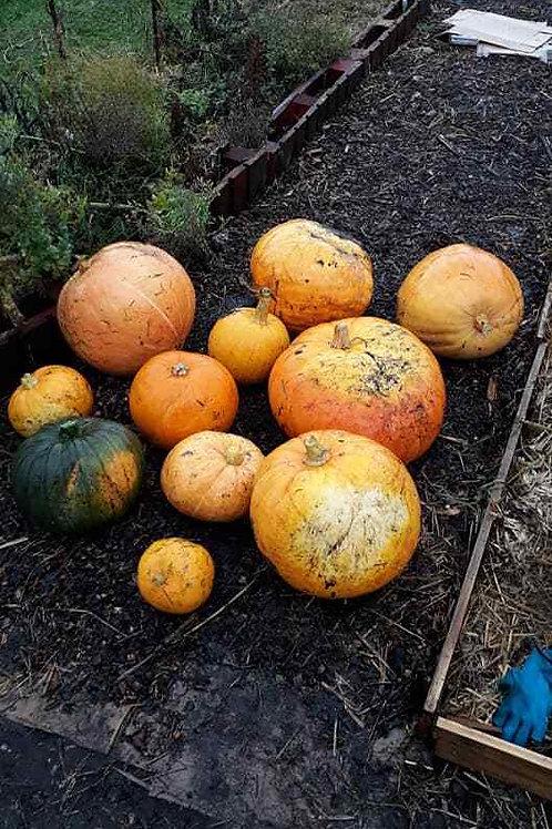 Pumpkin 'Organic' Seeds (10 Seeds) Project Abundance