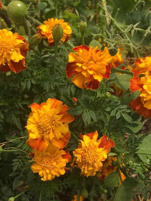 Marigold Mix 'Organic' Seeds (1g = Approx. 150 Seeds) Project Abundance
