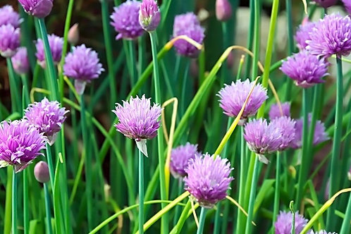 Chive 'Organic' Seeds (Approx. 150 Seeds)
