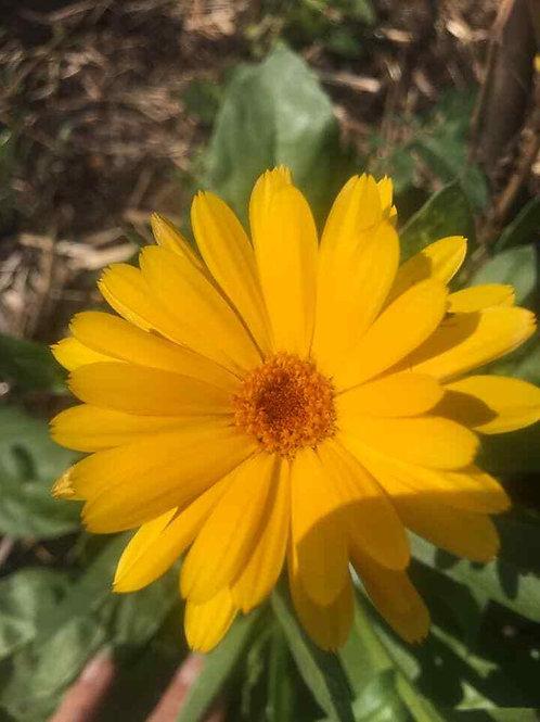 Pot Marigold Mix 'Organic' Seeds (1g = Approx. 150 Seeds) Project Abundance