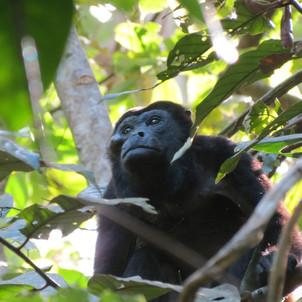 Howler monkey contemplating life
