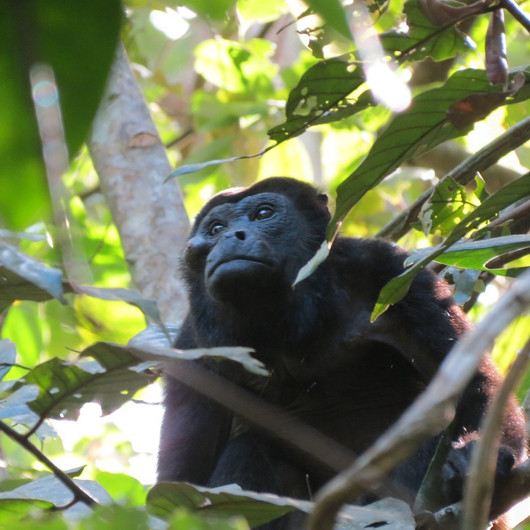 Howler monkey contemplating life
