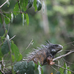 Old green iguana on a small
