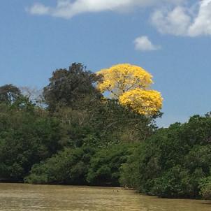 Flowering Tabebuya guayacan tree
