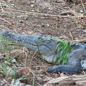 Big croc with green hair